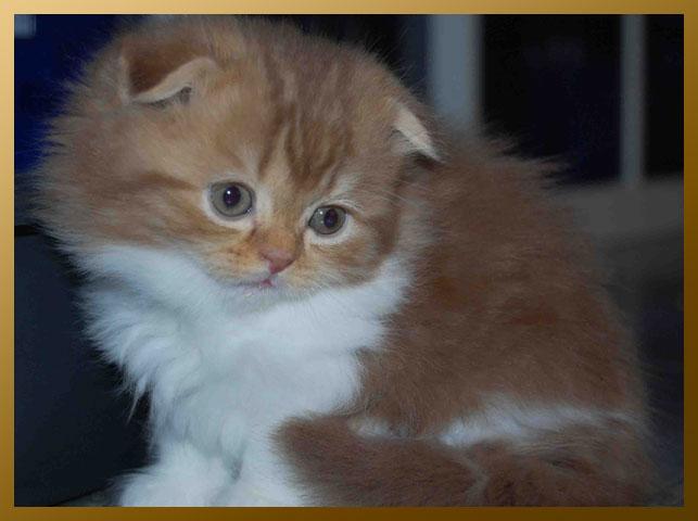 Britse Korthaar Kittens Beschikbaar | HD Walls | Find Wallpapers